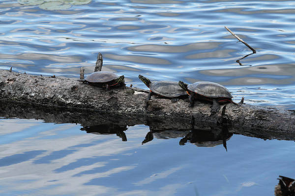 Photograph - Turtles by Jackson Pearson