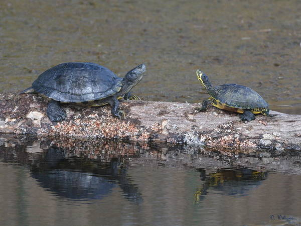 Photograph - Turtles On A Log by Dan Williams