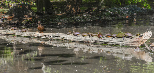 Wall Art - Photograph - Turtles Sunning On A Log by Bill Cannon