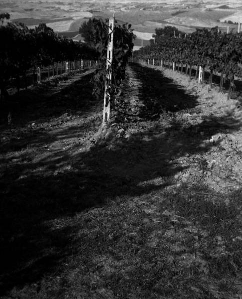 Photograph - Tuscan Vineyard by Maria Reverberi