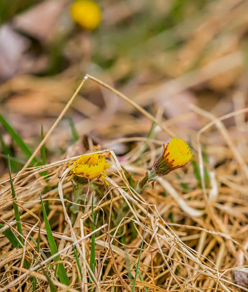 Photograph - Tussilago April 2016. by Leif Sohlman