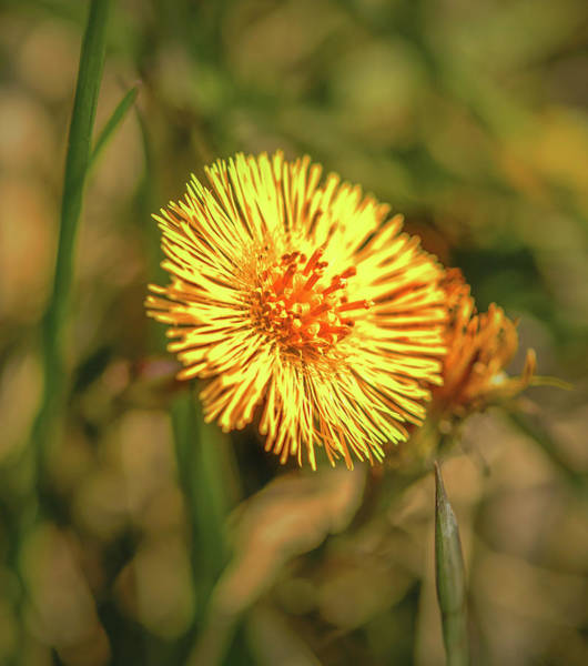 Photograph - Tussilago #g3 by Leif Sohlman