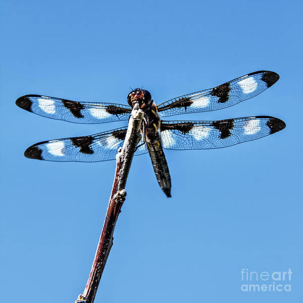Haybale Wall Art - Photograph - Twelve-spotted Skimmer by Robert Bales