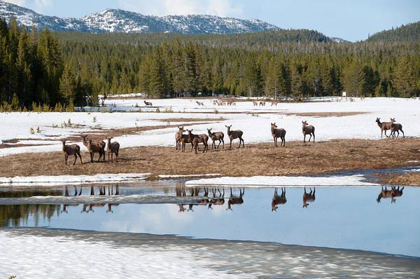 Photograph - Twice The Elk by Steve Stuller