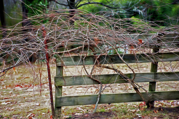 Photograph - Twigged Fencing by Gina O'Brien