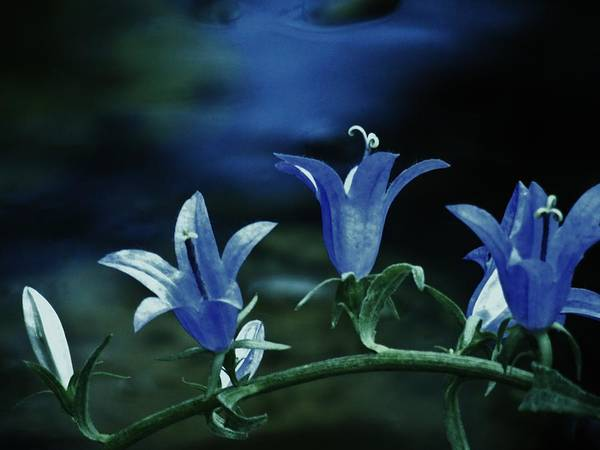 Photograph - Twilight Bells by Barbara St Jean