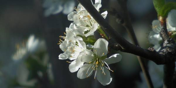 Photograph - Twilight Cherry by Barbara St Jean