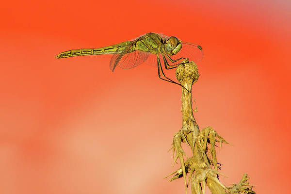 Wall Art - Photograph - Twilight Dragonfly  by Stelios Kleanthous