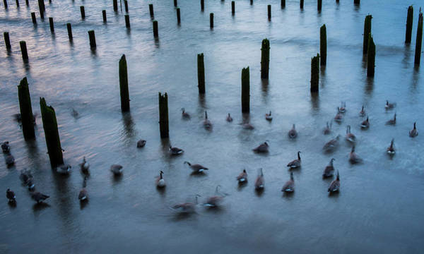 Photograph - Twilight Geese by Robert Potts