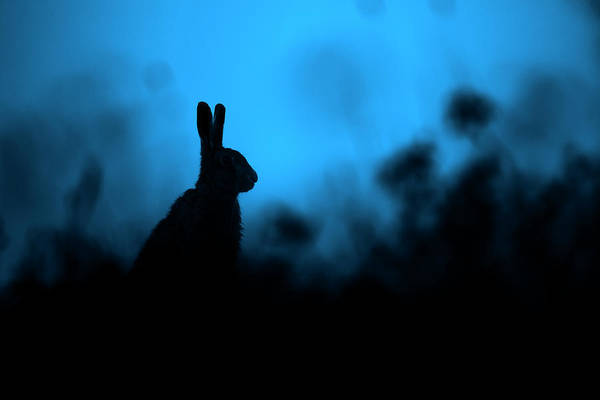 Photograph - Twilight Hare by Simon Litten