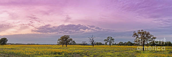 Wall Art - Photograph - Twilight Light Over A  Field Of Groundsel Wildflowers And Oaks Near Giddings - Lee County Texas by Silvio Ligutti
