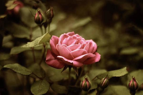 Photograph - Twilight Rose by Jessica Jenney