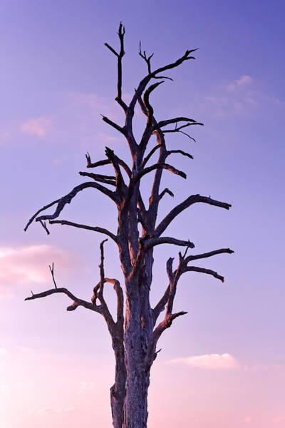 Photograph - Twilight Tree by Nicholas Blackwell