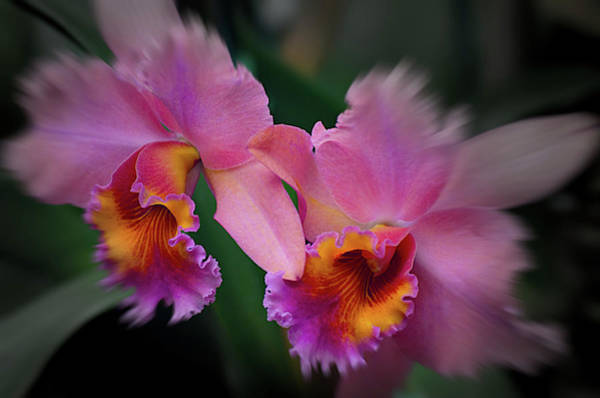 Photograph - Twin Buds by Stewart Helberg