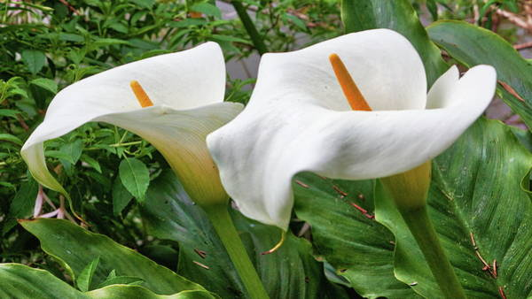 Photograph - Twin Calla Lilies by Harold Rau