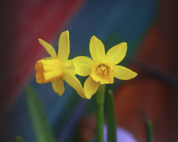 Dafodil Photograph - Twin Daffodils by Cathy Lindsey