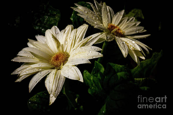 Photograph - Twin Daisys by William Norton