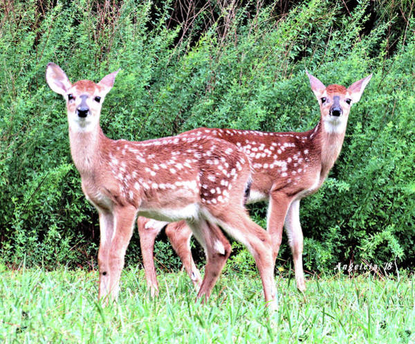 Photograph - Twin Fawns by Angelcia Wright