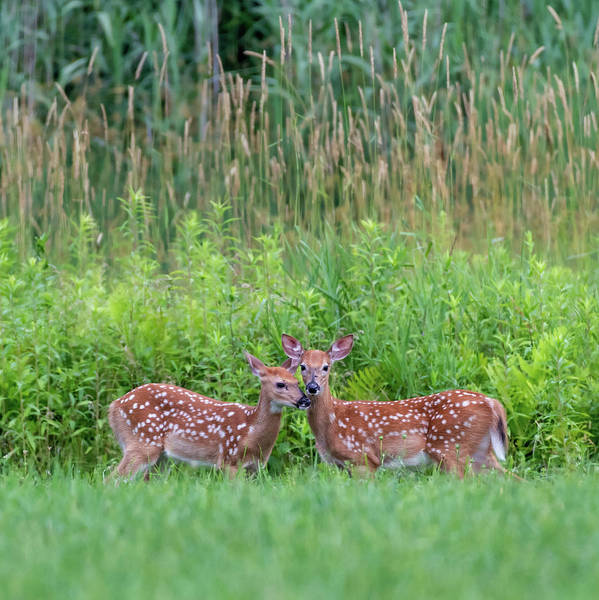 Photograph - Twin Fawns by Bill Wakeley