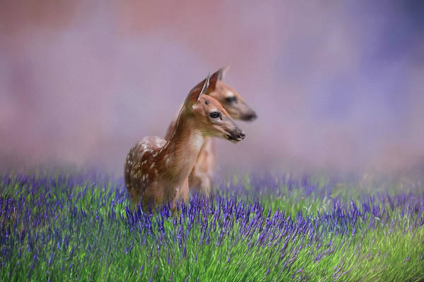 Photograph - Twin Fawns In The Lavender Deer Art By Jai Johnson by Jai Johnson