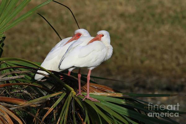 Photograph - Twin Ibis by Deborah Benoit