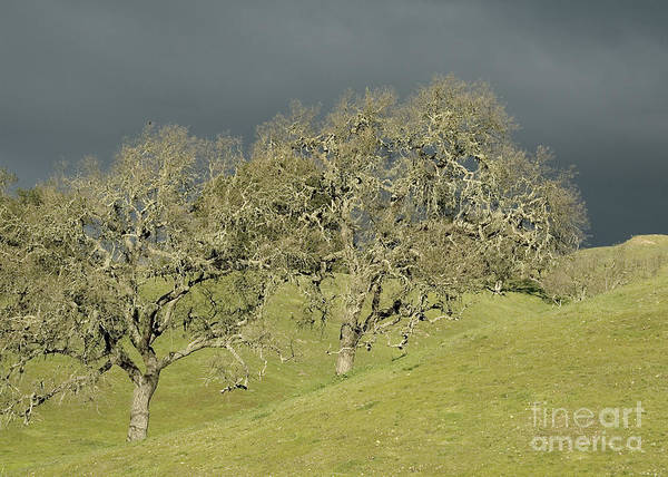 Photograph - Twin Oaks by Kathleen Gauthier