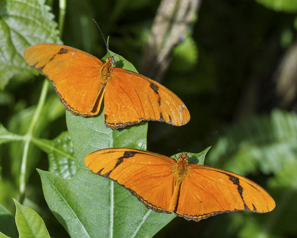 Photograph - Twin Orange Butterflies by Bob Slitzan