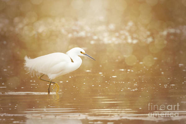 Photograph - Twinkling - Snowy Egret by Beve Brown-Clark Photography