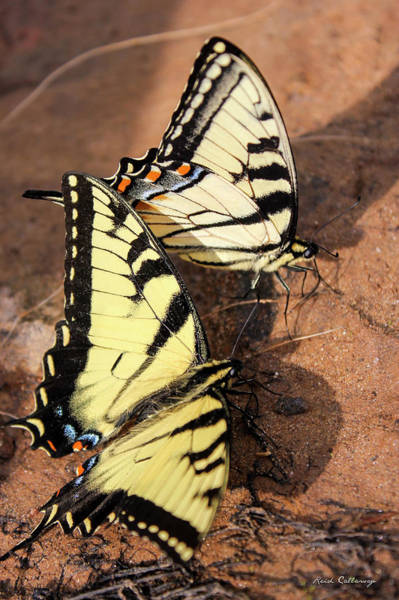 Photograph - Twins Tigers 2 Butterfly Art by Reid Callaway