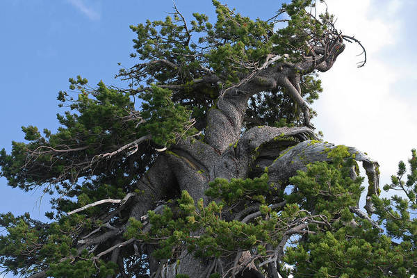 Timberline Photograph - Twisted And Gnarled Bristlecone Pine Tree Trunk Above Crater Lake - Oregon by Christine Till