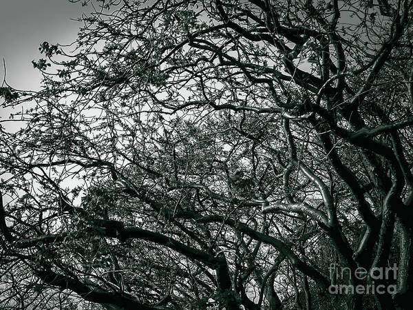 Photograph - Twisted Branches by Camille Pascoe