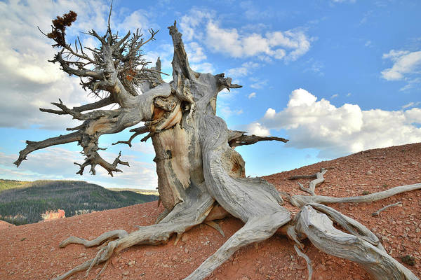 Photograph - Twisted Forest Bristlecone Pine by Ray Mathis