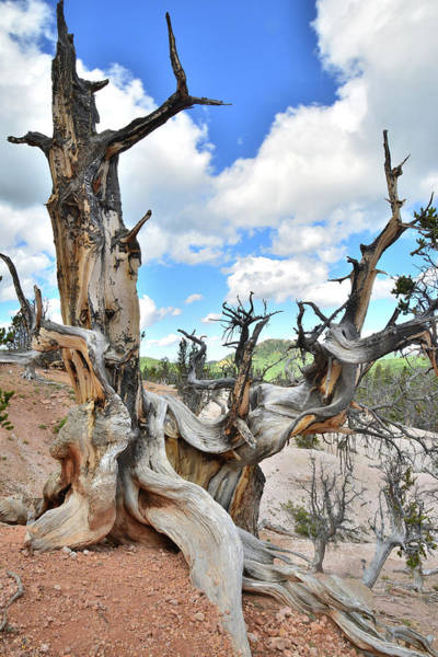 Photograph - Twisted Forest Utah by Ray Mathis