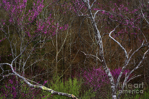 Photograph - Twisted Redbud In The Woods by Thomas R Fletcher