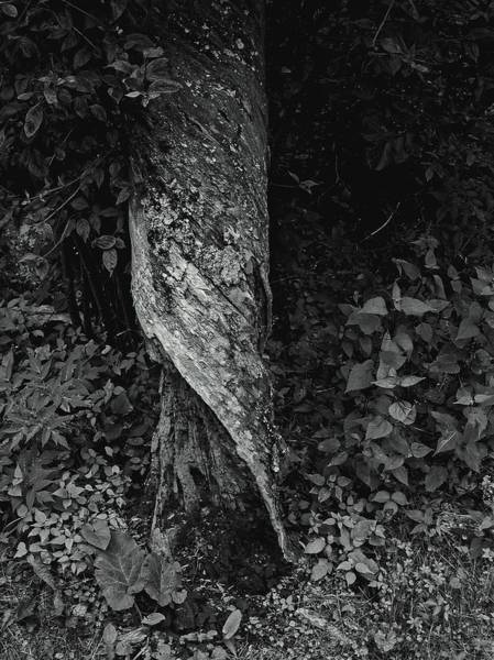 Photograph - Twisted Tree 1, West Virginia 2003 by Chris Honeyman