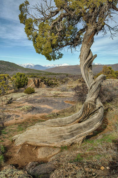 Photograph - Twisted Tree by Denise Bush