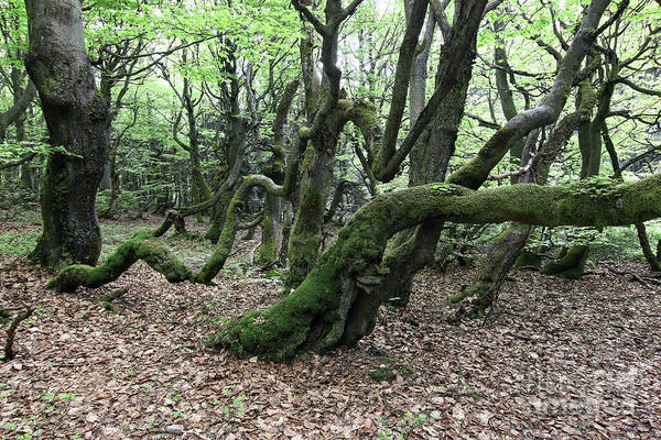 Woodland Wall Art - Photograph - Twisted Trunks Of Beech Trees - Old Beech Forest by Michal Boubin
