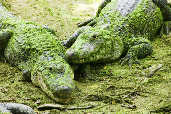 Gator Wall Art - Photograph - Two Alligators by Garry Gay
