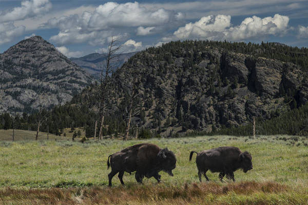 Photograph - Two American Buffalo by Randall Nyhof