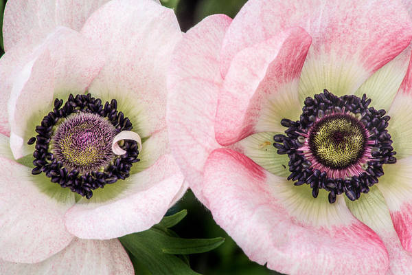 Don Johnson Photograph - Two Anemones by Don Johnson