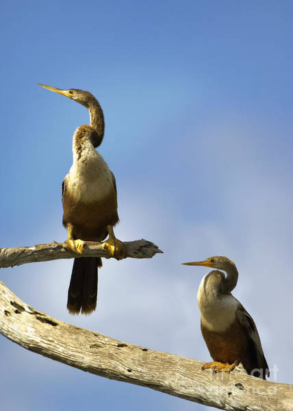 Photograph - Two Anhingas by Patrick M Lynch