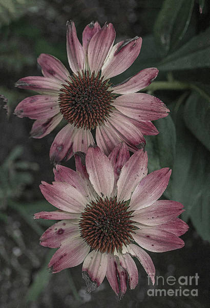 Wall Art - Photograph - Two Autumn Flowers by Jim Wright