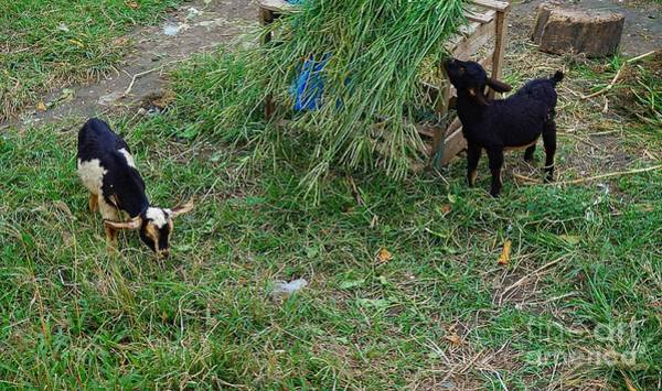 Photograph - Two Baby Goats by Christopher Shellhammer