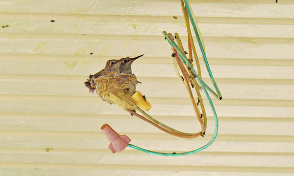 Photograph - Two  Baby  Hummingbirds Almost Grown Up One by Carl Deaville