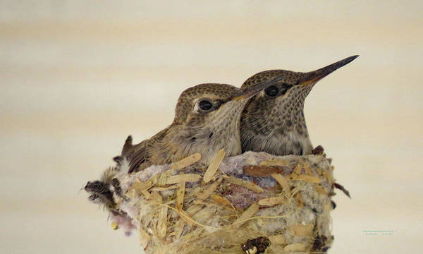 Photograph - Two  Baby  Hummingbirds Almost Grown Up Three by Carl Deaville
