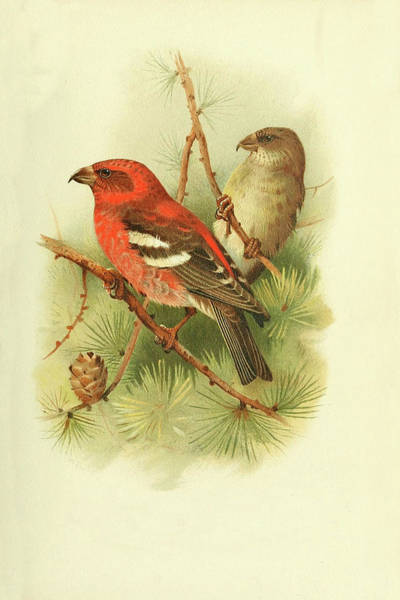 Bird Watercolor Mixed Media - Two Barred Crossbill By Thorburn by Archibald Thorburn