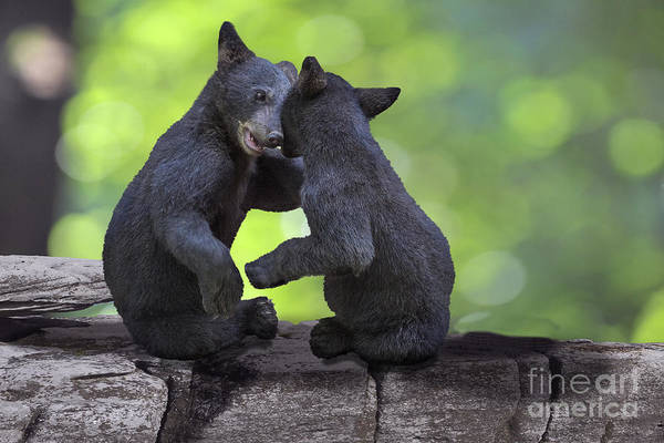 Photograph - Two Bear Cubs Wrestling On A Rock   by Dan Friend