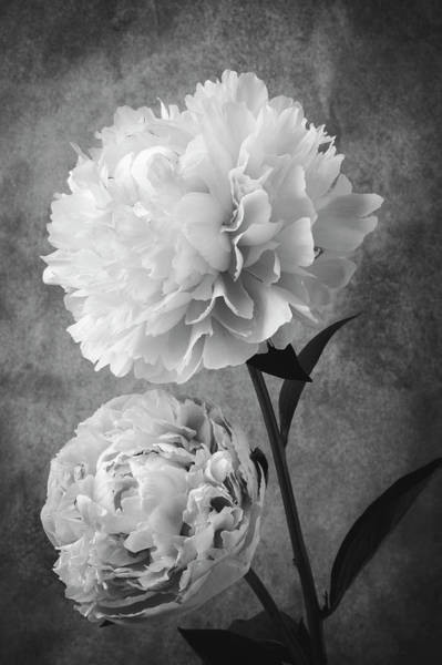 Peonies Photograph - Two Beautiful Black And White Peonies by Garry Gay