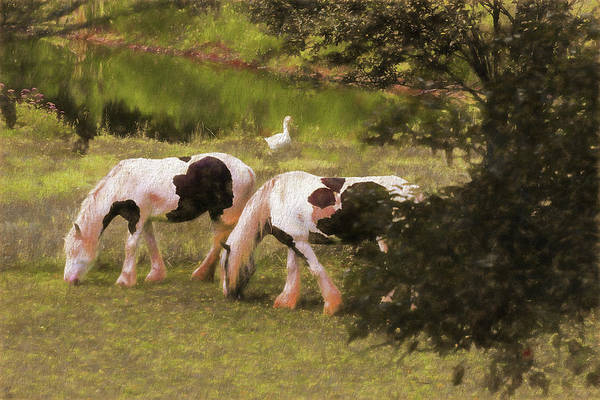 Photograph - Two Beautiful Gypsy Vanner Horses Grazing In A Pasture.two White by Rusty R Smith