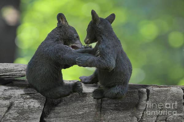 Photograph - Two Black Bears Cubs Wrestling On Rocks by Dan Friend